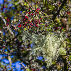Tree Beard (JKmedia) Tags: autumn trees tree nature canon beard moss colours berries growth hip dartmoor avon shipleybridge canoneos7d n15c boultonphotography