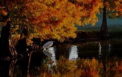 Morning (bjebie) Tags: morning autumn lake heron nature beauty sunshine reflections pond december florida wildlife fowl egret whiteegret cypresstrees 2014 whiteheron morningsunshine goldentrees winterhavenflorida polkcountyflorida lakebessgolfclub