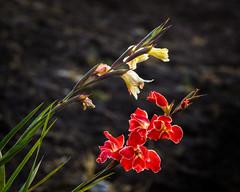 Gladiolus Lethargy