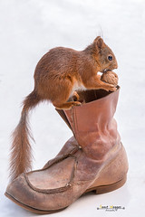 squirrel gift (Geert Weggen) Tags: christmas red food cute nature animal fun mammal foot shoe rodent squirrel shoes funny nut geert weggen ilobsterit hardeko