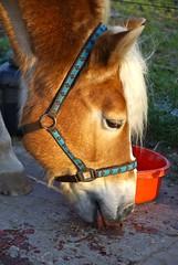 Sunny eating III (frankbehrens) Tags: pony pferde pferd ponys haflinger