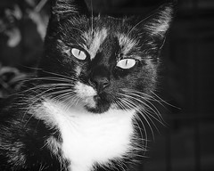 Feline domestikus (morskikonjic) Tags: white black face look cat eyes tortie curious