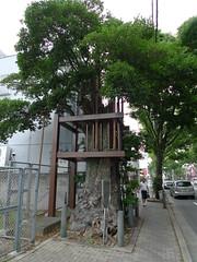 Kuroganemochi of the Katatagae shrine  (MRSY) Tags: plant tree japan  osaka  sakai