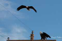 3 of 4 - An aggressor Bald Eagle buzzes another eagle