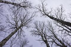 Tall Aspen Trees (awaketoadream) Tags: november autumn trees fall nature head bruce north reserve niagara lions aspen peninsula provincial escarpment 2014 populus bigtooth grandidentata