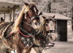 cold day (Schneeglöckchen-Photographie) Tags: winter horse cold frosty pferd