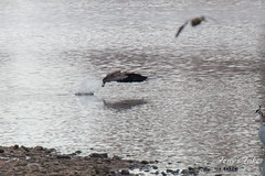 8 of 14 - Bald Eagle Fishing Sequence