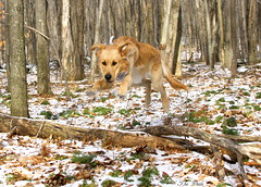 I Can Fly (Diane Marshman) Tags: trees winter dog brown snow motion nature animal puppy season fur golden jumping movement log woods action pennsylvania tan large running retriever dude pa blonde pup northeast thedude the