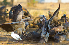 Griffon vulture bullying (Deepak Sankat) Tags: food india bird photography fight nikon wildlife indian caracas 300mm vulture nikkor bully animalia griffon bhopal avea gyps fulvus chordata d7000