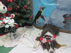 Sashia (happy_hounds) Tags: dogdaycare dog daycare puppy pups boarding cagefree dogsofflickr purebred rescuedog happyhounds plymouthmichigan happyhoundsdogdaycare