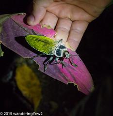 Costa Rica: Large Beetle #2 (Euchroma gigantea) (wanderingYew2) Tags: insect costarica wildlife beetle lakearenal metallicwoodboringbeetle euchromagigantea wildernesstraveltour giantmetallicceibaborer