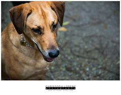 (Christoph Lorenz Photography) Tags: wood dog brown london nose austria sterreich mix nikon waterdrop labrador sweet hund lower braun wald nase niedersterreich wassertropfen d800 loweraustria stockerau