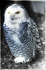 Schneeeule - Snow Owl