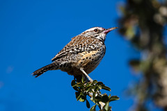 Young Cactus Wren (http://fineartamerica.com/profiles/robert-bales.ht) Tags: red brown southwest bird beautiful birds wow spectacular backyard colorful superb awesome surreal peaceful aves brush mesquite sensational wren curious saguaro inspirational spiritual streaked sublime magical tranquil magnificent inspiring haybales songbird stupendous perching campylorhynchusbrunneicapillus chirps canonshooter catuswren permanentresidents aridregions curvedbill spottedfeathers whiteeyestripe robertbales barredwings northamericaphotography nestsincactus