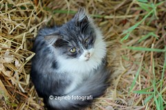 Meow (Zejneb Fotografi) Tags: pet cats pets cute home animal animals cat canon 50mm j