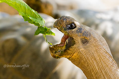 Una Tortuga con Lechuga (bamoffitteventphotos) Tags: california summer food nature animal mouth sandiego eating reptile tortoise august galapagos lettuce meal southerncalifornia openmouth tortuga sandiegozoo lechuga balboapark 2013