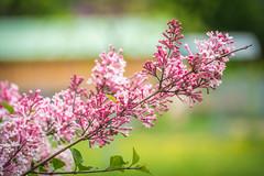 Jardin Rose (Maxime Bonzi) Tags: photo france spring fleur printemps flowers rhone herbes tige pink rose lyon verdoyant flower fleurs alpes