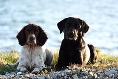 FAN_1043 (Flemming Andersen) Tags: friends dogs water seaside buddy zigzag hunde