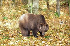 DSC_0429 (d90-fan) Tags: autumn animals tiere herbst hirsch braunbr brownbear geier waschbr wolfes luchs badmergentheim wlfe