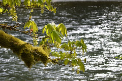 Let Me Remember Things I Love (Sotosoroto) Tags: forest river washington maple branch hiking greenriver dayhike flaminggeyser flaminggeyserstatepark