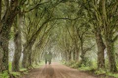 Trees - Norfolk (Peter Warne-Epping Forest) Tags: trees mist rain norfolk avneue tulgywood