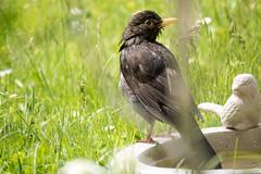 Amsel beim Baden - Blackbird having taken a bath (riesebusch) Tags: berlin vgel garten marzahn
