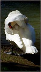 Camera shy cob (* RICHARD M) Tags: nature water birds fun swan wildlife shy humour swans waterfowl cob coy ornithology southport camerashy muteswan merseyside cygnusolor sefton cygnus anatidae heskethpark