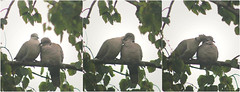 Tourterelles turques (Mariie76) Tags: gris amour animaux arbre tendresse feuilles oiseaux streptopelia columbidae bisous decaocto clins