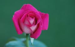 Happy Mothers Day Mum! (shelley.sparrow) Tags: nature beauty rose garden droplets petals bright bokeh rosa australia brisbane depthoffield queensland pinkrose happymothersday greenbackground shelleysparrow
