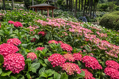 Red Beauty  (Sharleen Chao) Tags: flowers summer plant japan kyoto day outdoor   fujifilm 1855mm     xt1 mimurotojitemple    hydrangeamacrophylia