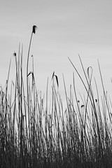 The only way is up (marktmcn) Tags: sky blackandwhite monochrome up grass looking grasses nikkor 28300mm blades skywards d610 underdrowth