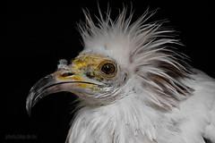 Schmutzgeier / egyptian vulture / Neophron percnopterus (AchimSchmidt) Tags: bird raptor egyptian vulture birdofprey geier neophron percnopterus greifvogel schmutzgeier