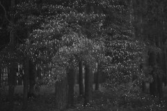 celebration (Mindaugas Buivydas) Tags: trees bw tree pine forest spring blossom may lithuania lietuva kernave kernav