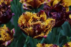 IMG_3018 (seustace2003) Tags: holland nederland an tulip bas pays tulipa niederlande keukenhof tulp tulipan paesi bassi tiilip sitr