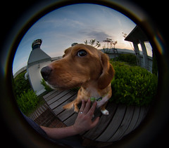 Charlie - Lensbaby Fisheye Portrait I (Jason Ryan Teacher Photography) Tags: portrait dog lensbaby lens fisheye 58mm f35 lensbaby58mmf35fisheyelens