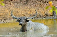 Mud bath! (Dunstan Fernando) Tags: waterbuffalo buffalo animal wildlife dunstan yala yalanpsrilanka nikon nikkor dunstanphotography srilankawildlife búfalo الجاموس бъфало buffle büffel μπάφαλο भैंस kerbau バッファロー 버팔로 bivol буффало บัฟฟาโล nature mudbath