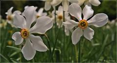Le pays o les narcisses chantent au crpuscule... (nathaliedunaigre) Tags: flowers white macro field fleurs twilight wildflowers crpuscule blanc champ narcissus fleurssauvages narcisses