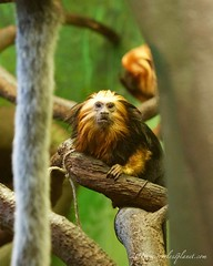 golden-headed lion tamarin (captive) (mirrorlessplanet.com) Tags: usa nature zoo districtofcolumbia captive primate tamarin smithsoniannationalzoo goldenheadedliontamarin mirrorlessplanetcom