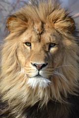 Antoon @ Safaripark Beekse Bergen 12-03-2016 (Maxime de Boer) Tags: cats animals zoo big leo african lion bergen dieren lioness safaripark dierentuin leeuwin leeuw panthera antoon beekse hilvarenbeek afrikaanse katachtigen