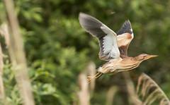 Enfin (Eric Penet) Tags: wild france bird nature animal wildlife mai marais printemps oiseau sauvage nain pasdecalais saintomer femelle mle blongios romelare ardid