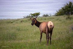Roosevelt Elk (San Francisco Gal) Tags: california grass animal mammal pacificocean elk rooseveltelk sinkyonewildernessstatepark cervuscanadensisroosevelti