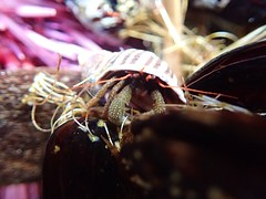 Yaquina Head tide pools, hermit crab (BLMOregon) Tags: ocean hermitcrab head pacificocean newport oregoncoast yaquinahead tidepools tidepool yaquina