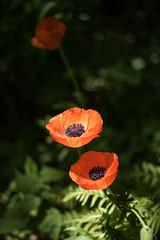 Poppies (chrism229) Tags: nikon nikkor 50mmf14 d810