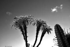 Guardando la coltre del cielo (Paolo Bonassin) Tags: flowers cactus blackandwhite bw flower monochrome cactaceae bianconero biancoenero echinopsis succulente cactacee