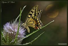 Farfalla.. estiva - Luglio-2016 - (agostinodascoli) Tags: macro texture nature nikon agostino butterflies nikkor sicilia farfalla luglio dascoli cianciana cardoselvatico nikonclubit