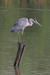 Grey Heron - Airone cenerino (Andrea Lugli) Tags: bird heron sport canon eos sigma os birdwatching dg hsm 60d 150600