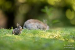 Wildkaninchen (Tierfotografie Niklas Mattern) Tags: rabbit canon eos wildlife ef kaninchen wildkaninchen 7dmarkii 400l28isii