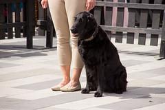 Nssla ready to go (Yvonne L Sweden) Tags: dog dogs sweden hund eskilstuna flatcoatedretriever hundar nssla 160622 fristadstorget specialsk hundshow sommartorget