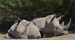 Rhinocros blancs (Michel Seguret Thanks all for 8.400 000 views) Tags: park wild france animal animals nikon reserve pro animaux aude parc rhinoceros tier d800 afrique rinoceronte sauvage africaine rhinozeros sigean michelseguret