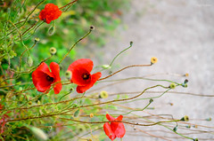 The little things which make the big picture looks beautiful (renkata23) Tags: road flowers red plant flower beautiful closeup nikon colorful mood close outdoor seed poppy closer poppyflower nikonbulgaria